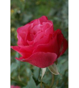 Роза Амалия