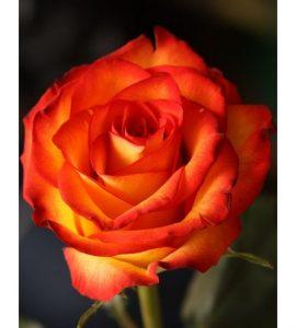 Роза Ксюша