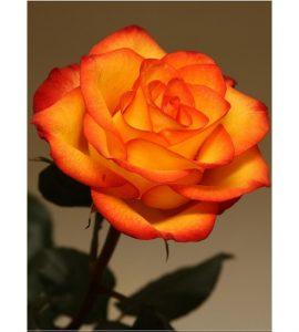 Солнышко Роза