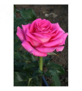 Синие розы Топаз