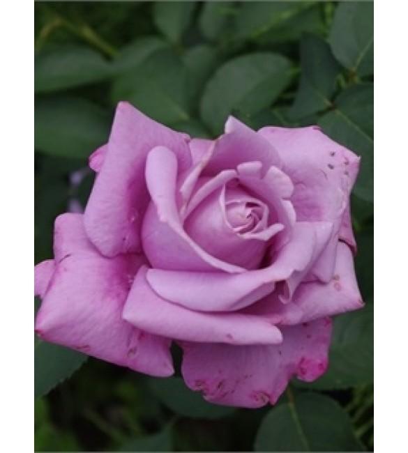 Роза допотер фиолетово-розовая