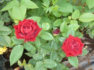 цветы для бардюра
