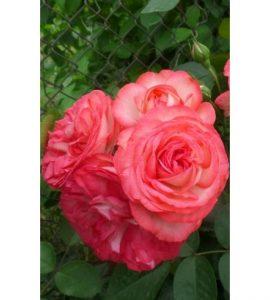 Роза скалолаз