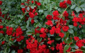Скарлет роза