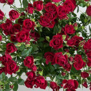 роза рубикон