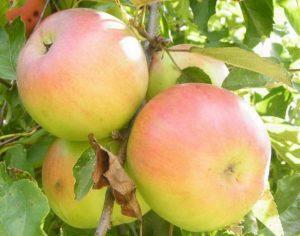 Яблоки августовские