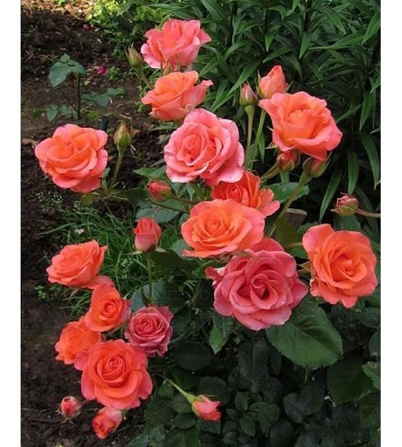 Патио роза Вау